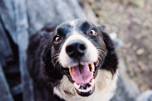 Dog Laughing